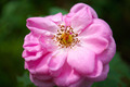 Close-ups of pink roses and stamens. - PhotoDune Item for Sale