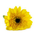African daisy (gerbera) isolated on white background. - PhotoDune Item for Sale