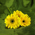 Yellow African daisy (gerbera)  on green fabric background. - PhotoDune Item for Sale