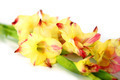 Branch of yellow-red gladiolus on white background. - PhotoDune Item for Sale