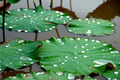 Green leaves of Roseum Plenum Lotus. Nelumbo nucifera Gaertn. - PhotoDune Item for Sale