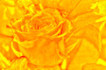 Golden rose - PhotoDune Item for Sale