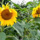 Beautiful yellow sunflowers during summer - PhotoDune Item for Sale