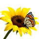 Nature Summer Sunflower with Butterfly. Vector - GraphicRiver Item for Sale