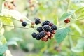 Blackberry harvest collecting - PhotoDune Item for Sale