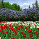 Tulips and lilacs in the spring garden - PhotoDune Item for Sale