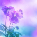 Purple pansies flowers - PhotoDune Item for Sale