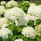 Hydrangea - PhotoDune Item for Sale