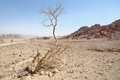 Dry acacia tree in the desert, Israel - PhotoDune Item for Sale