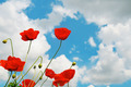 scarlet poppies on a background of the cloudy sky - PhotoDune Item for Sale