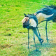 Crowned Cranes - PhotoDune Item for Sale