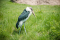 Marabou stork - PhotoDune Item for Sale