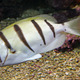 tropical fish white with black lines swimming in warm water - PhotoDune Item for Sale