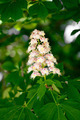 beautiful flowers of chestnut in nature - PhotoDune Item for Sale