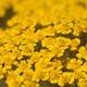 beautiful little yellow flowers in nature - PhotoDune Item for Sale