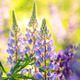 Blooming Lupines - PhotoDune Item for Sale