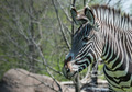 Grevy's Zebra - PhotoDune Item for Sale