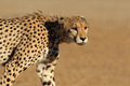 Stalking Cheetah - PhotoDune Item for Sale
