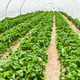 Large greenhouse with rows of fresh organic strawberry - PhotoDune Item for Sale