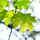 green maple leaf lit by the sun - PhotoDune Item for Sale
