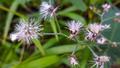 Mimosa Pudica Flowers - PhotoDune Item for Sale