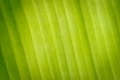 Abstract banana texture leaves. - PhotoDune Item for Sale