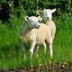 Two Lambs - PhotoDune Item for Sale
