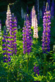 Lupine Flowers - PhotoDune Item for Sale