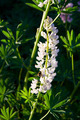 Lupine Flower and A Bumblebee - PhotoDune Item for Sale