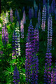 Lupin Flowers - PhotoDune Item for Sale