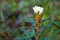 Labrador Tea - PhotoDune Item for Sale