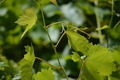 Vine Leaves - PhotoDune Item for Sale