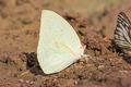 Lemon Emigrant butterfly - PhotoDune Item for Sale