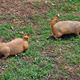 prairie dog rodents feeding on grass - PhotoDune Item for Sale