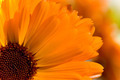 Close-up of an orange Gerbera flower 1/3 - PhotoDune Item for Sale