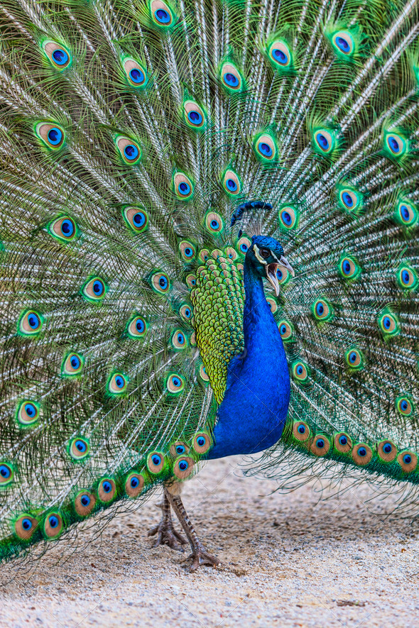 Peacock Screaming - Stock Photo - Images