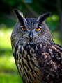 eagle Owl - PhotoDune Item for Sale