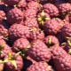 Raspberries Transition - VideoHive Item for Sale