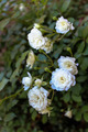 White Rose Bush - PhotoDune Item for Sale