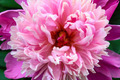 Peony Bloom - PhotoDune Item for Sale