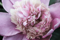 Peony Macro - PhotoDune Item for Sale