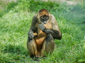 Black-handed spider monkey - PhotoDune Item for Sale