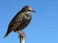 A perched starling bird close up. - PhotoDune Item for Sale