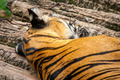 Sleeping Bengal Tiger   - PhotoDune Item for Sale