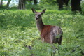 Adult Deer - PhotoDune Item for Sale