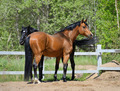 Two Purebred Horses on manege - PhotoDune Item for Sale