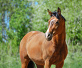 Portrait of Bay purebred Stallion  - PhotoDune Item for Sale