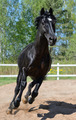 Black purebred Stallion Gallops on manege  - PhotoDune Item for Sale