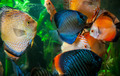 Discus Fish   - PhotoDune Item for Sale