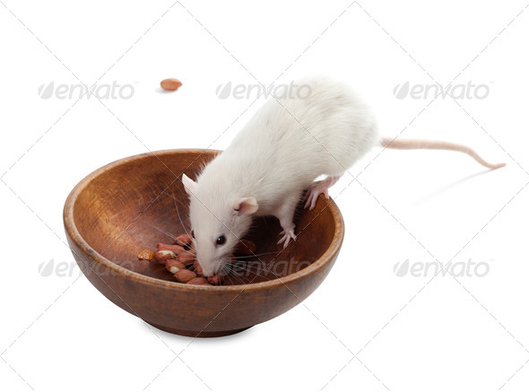 White rat eating peanuts from wooden plate - Stock Photo - Images
